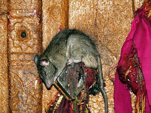 కర్ణి మాత ఆలయంలో రాత్రుళ్ళు జరిగే మిస్టరీ