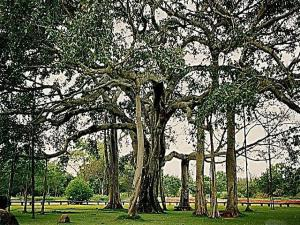 Do You Know About The Biggest Banyan Tree The World