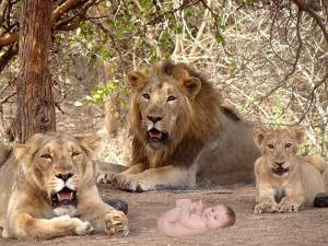 A Baby Born A Forest Around 12 Lions
