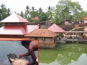 Veg Crocodile Kerala