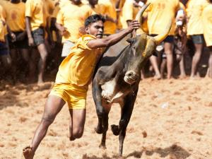 Pongal Is The Harvest Festival Tamil Nadu Popular Attraction