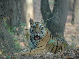 Places In India To Spot Tigers In The Wild